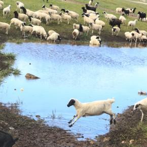 Wasserloch mit Schaf und Zeigenherde