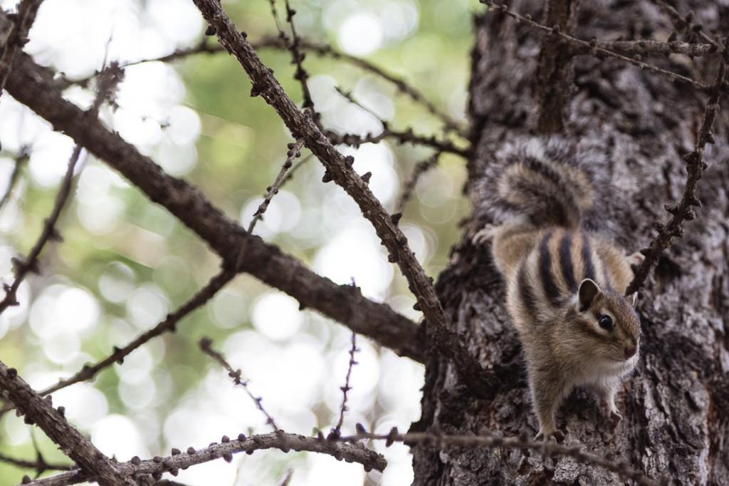 Panisches Streifenhörnchen